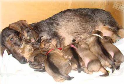 щенки, роды у собаки