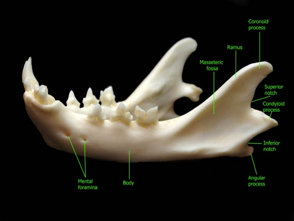 Нижняя челюсть кошки