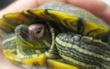 конъюнктивит, блефарит, черепаха