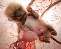 Самопроизвольный аборт у кошек