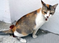 Частое мочеиспускание у кошек