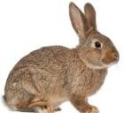 Происхождение кроликов