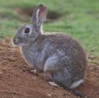 Одомашнивание кроликов