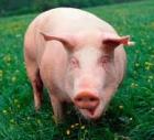 Азбука начинающего свиновода: что необходимо учесть?