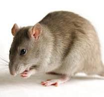 Заболевания передающиеся человеку от крыс и мышей