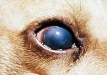 Инфекционный гепатит собак курсовая работа 1420