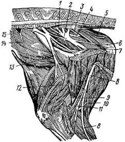 Схема нервов тазовой конечности лошади