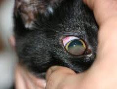 Кератит при вирусном перитоните кошек