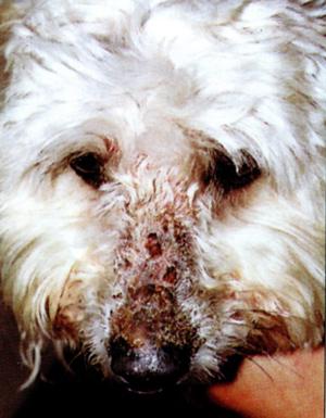 Алопеция, эритема, струпья на морде собаки, страдающей фолиальным пемфигусом