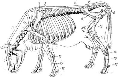 Звенья отделы и суставы периферического скелета крс вывих суставов у котят