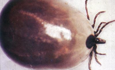 Взрослая самка клеща Ixodes ricinus
