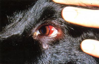 Кровоизлияния в склере у собаки, больной эрлихиозом, вызванным Е. canis.