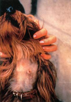 Узелково-грануломшпозная кожная реакция у собаки в месте присасывания клеща Rhipicephalus sanguineus
