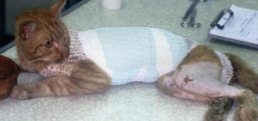 Повязка предохраняет место операционного разреза и хорошо переносится животными