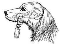 Собака с фистулой околоушной слюнной железы