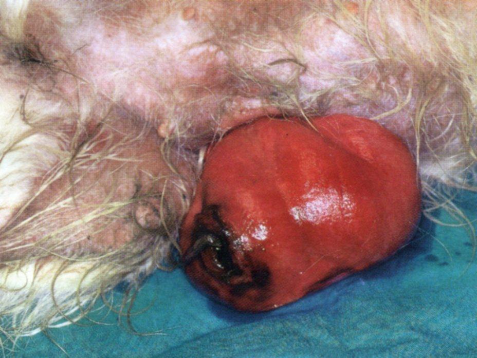 Разрыв брюшной стенки и выпадение матки у щенной суки