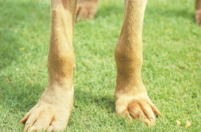 Полиартрит у собаки породы веймаранерская легавая с повышенным титром антител против Borellia burgdorferi.