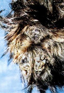 Гиперкератоз и растрескивание подушечек у собаки, страдающей фолиальным пемфигусом