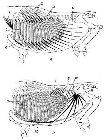 Схема расположения наружных косых мышц туловища