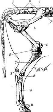 Лекция суставы конечностей жвачных заболевание артрит тазобедренного сустава