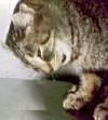 Рвота шерстью у кошек: норма или патология?