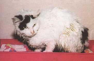 гипертиреоидизм у кошек