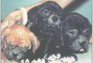 Ихтиоз у трех щенков боксера