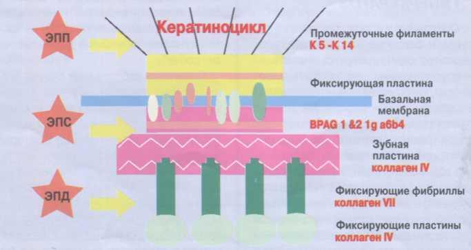 Классификация буллезного эпидермолиза, выраженного аномалией функционирующего участка кожи