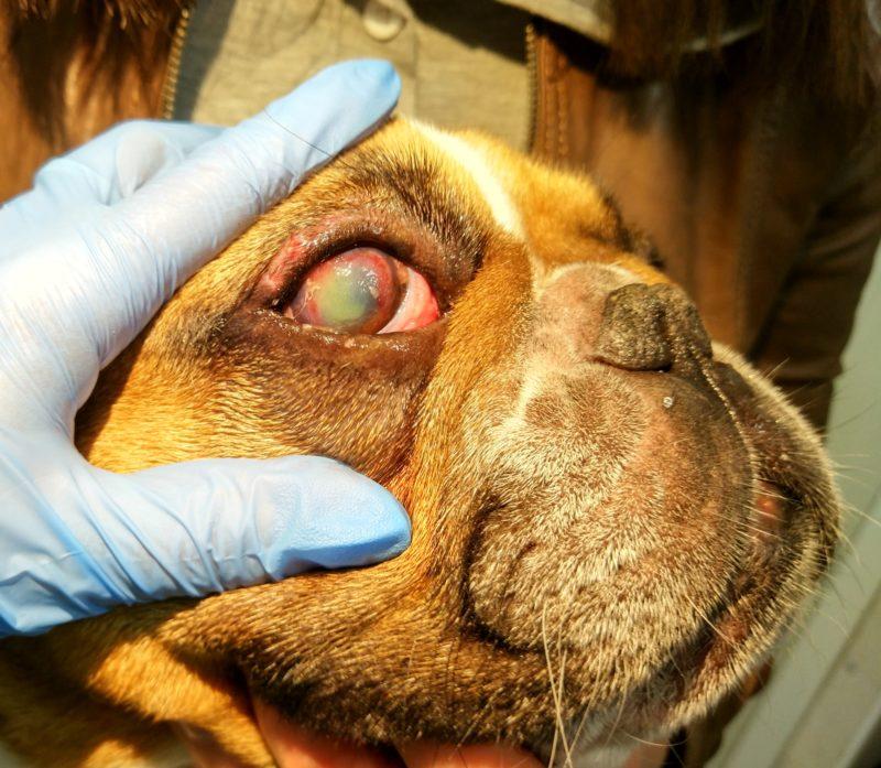 панофтальмит у собаки