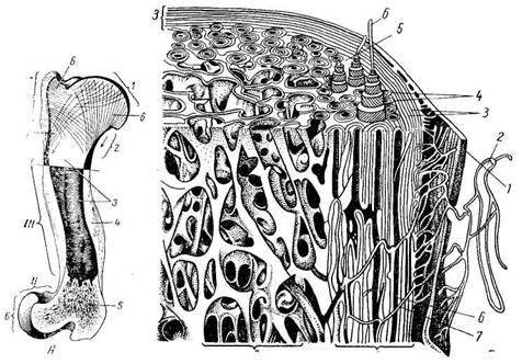 Схема строения кости: